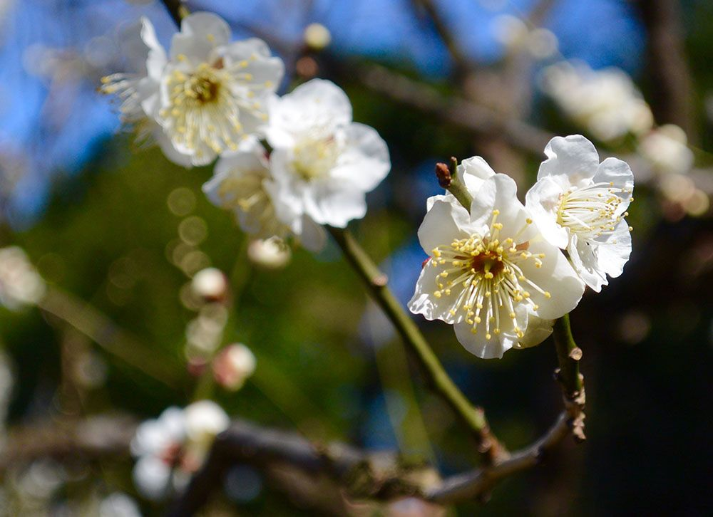 Plum Blossoms in Japan: 5 Best Spots