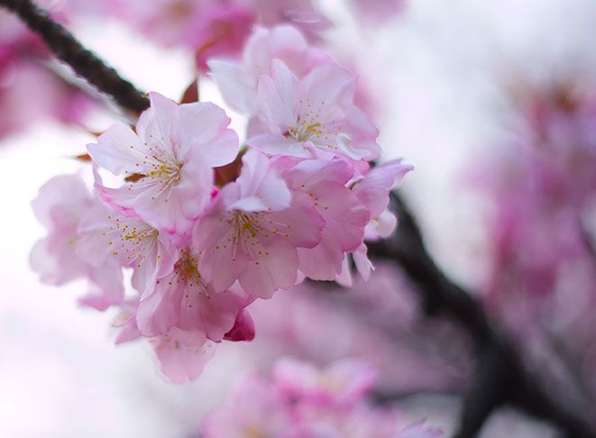 A Season of White and Pink: The Beauty and Transience of the Cherry Blossoms